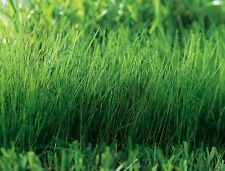 WHEATGRASS, WOWZERS CATGRASS  , 800 Heirloom, Non-gmo Seeds.. FREE SHIPPING