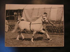 "9X Royal Welsh Champion ""Coed Coch Madog"" Welsh Mountain Pony Stallion Photo"