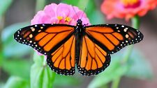 Real Monarch butterfly Danaus plexippus Fast Us Shipping ! Art, Unmounted