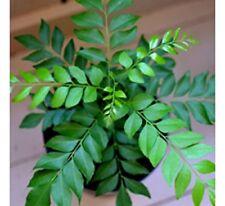 5 unit CreativeFarmer Dried seeds Kitchen Curry Leaf Plant Kari Patta sweet Neem