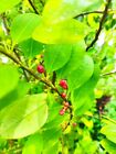 05 Coca Seeds erythroxylum Colombian Novogranatense (BUY 02 GET 05 SEEDS FREE)