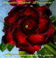 "ADENIUM OBESUM DESERT ROSE ROSY FLOWER "" TRIPLE DARK SERENADE "" 10 seeds  NEW"