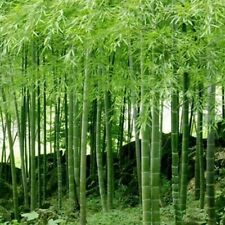 """300 Seeds Phyllostachys Edulis """"jaquith"""" Giant Moso Bamboo 00006000  Plant"""