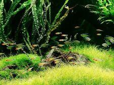 Balansae x3 -Live aquarium plant fish tank Free Ship BP