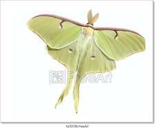 Luna Moth (Actias Luna) Art Print Home Decor Wall Art Poster - D