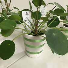 ✨ 'Chinese Money' Plant (Pilea Peperomioides) in Decorative 2
