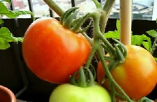 25 Seeds Bush Early Girl Tomato Tomato Seeds