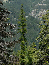 Larix occidentalis WESTERN LARCH Tree Seeds!