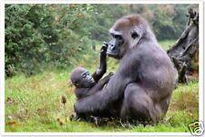 Mountain Gorilla & Baby - Nature Wildlife Print  POSTER
