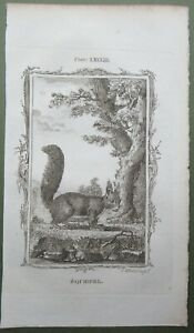 Squirrel Antique Print Copper Plate Engraving Buffon Natural History 1791