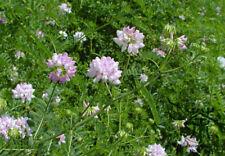 Astragalus membranaceus Bunge var. membranaceus  100 seeds