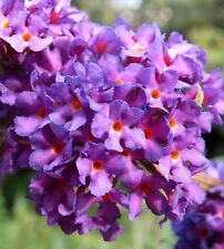 Black Knight Butterfly Bush - Live Plant - Shipped Over 2 Feet Tall