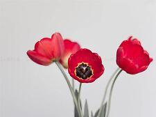 NATURE CLOSE UP FLOWER RED PETAL TULIP BEAUTIFUL POSTER ART PRINT BB1360A