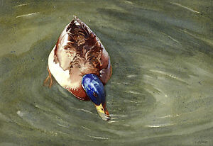 4 Duck POSTCARDS of Steve Greaves Paintings Birds Wildlife Art Card Nature Water