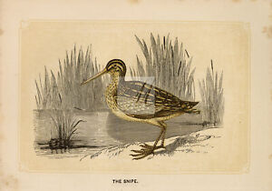 ANTIQUE Woodblock Natural History Print - The Snipe #E813