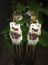 1X 2FT LARGE GRAPE VINE FRUIT PLANT - VITIS Schuyler SEEDLESS- 2L