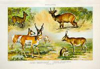 Julius Bien 1902 Chromolithograph (LXII) Antelopes