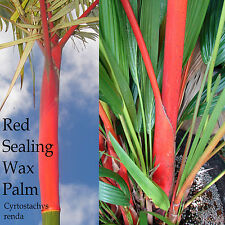 ~LIPSTICK PALM~ Cyrtostachys renda Red Sealing Wax Palm Tree Plant 12-18+ inch
