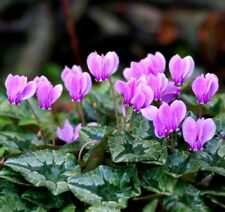 HARDY CYCLAMEN Easy To Grow! Perennial Pink Hederifolium Neapolitanum 10 Seeds