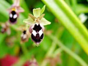 Ophrys Reinholdii tuber