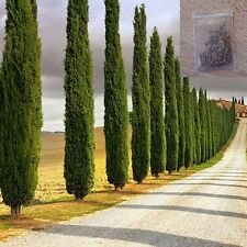 100 Pieces Italian Cypress Tree Cupressus Sempervirens Stricta Easy Plant Seeds
