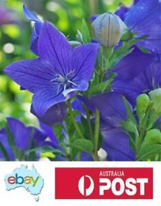 BALLOON FLOWER - TALL BLUE - 75 SEEDS - AUSTRALIAN STOCK