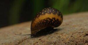 Batik Nerite Snails Algae Eaters Beginner KoiKompanion Free Shipping