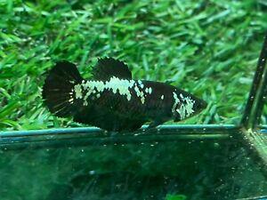 Live Betta Fish - Female - Fancy Black Betta HMPK , Age 4 month From Thailand
