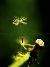 SEED DANDELION GREEN NATURE PHOTO ART PRINT POSTER PICTURE BMP1833A