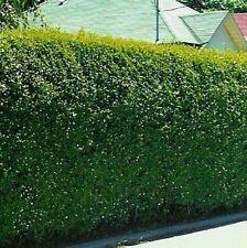 Privet Hedging Shrub Seeds -Impenetrable/Lilac Flowers