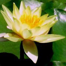 1 x chromatella Giallo UK Hardy GIGLI D'acqua/acqua piante/pond plant