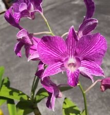 Dendrobium johnsoniae X Nida 'Stripes' Orchid Hybrid 4� (15)