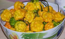 30++ Organic Scotch Bonnet Jamaican Hot Yellow Pepper Seeds