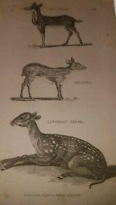 SHAW. RARE - COPPER ENGRAVED. ANTIQUE PRINT - 1801- LEVERIAN, MEMINNA, JAVA MUSK