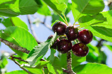 'Early Rivers' Cherry Tree 4-5ft 5L Pot Ready to Fruit,Large Dark Juicy Cherries