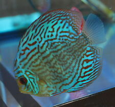 Blue Snakeskin Discus, Extra Large, Beautiful Live Freshwater Tropical Fish - XL