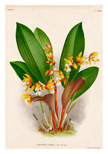 Coelogyne Lurida by Jean Linden Orchids A4 Art Print