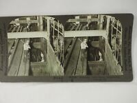 Knocking Cattle before Slaughter,Swift Packing Chicago Keystone Stereoview 1915