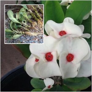 Euphorbia milii Rooted Plant Crown of Thorns ''Setthimisap'' Tall 5'' Thailand