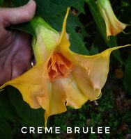 "Brugmansia (aka angel trumpet)  ""Creme Brulee"""