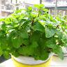 200pcs Spearmint Mint Mentha Herb Green Flower Seeds Home Decor From Thailand