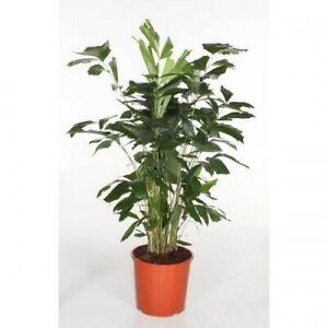 Caryota mitis fishtail palm, Burmese fishtail palm 15 seeds