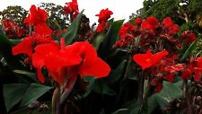 x2 Red Tropical Bronze Scarlet Canna indica/Canna lily/Indian shot Rhizome