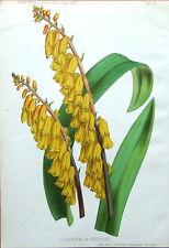 LACHENLIA NELSONI, Garten Antique Botanical Flower Print 1887