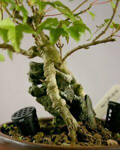 Acer Buergerianum (Trident Maple) Shohin Root-over-Rock Style Bonsai Tree