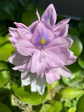 10+ Water Hyacinths Beautiful Pond Plants, Excellent Filtration, Homegrown Hobby
