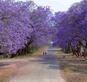 Jacaranda Tree - Jacaranda Mimosifolia - LIVE PLANT