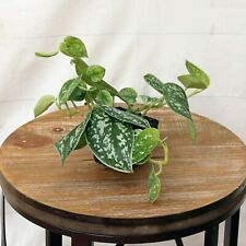 LIVE Silver Satin Pothos in growers pot evergreen indoor vine plant
