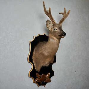 SIBERIAN ROE DEER TAXIDERMY HEAD SHOULDER MOUNT CAPE - MOUNTED, STUFFED ANIMALS