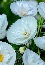 Cosmos bipinnatus 'Cupcakes White' x 10 seeds. Very easy to grow.